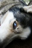 Husky blue eye Stock Photos