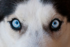 Husky blue eyes Royalty Free Stock Photo