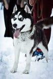 Husky blue eyes Royalty Free Stock Photo