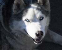 Husky with blue eyes Royalty Free Stock Photography
