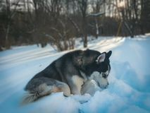 Husky with blue eyes in snow. Winter aesthetic sunset dog puppy royalty free stock photography