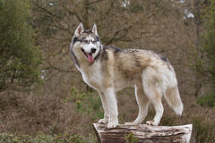 Husky with blue eyes on a tree trunk Royalty Free Stock Photo