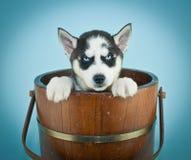 Husky Blues Photo libre de droits