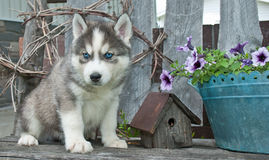Husky Blues Stock Photos