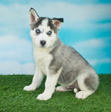Husky Blues Stock Photography