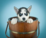 Husky Blues Royalty Free Stock Photo