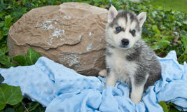 Husky Blues Stock Images
