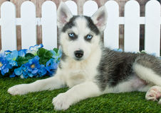 Husky Blues Stock Image