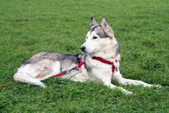 Husky body dog in grass Royalty Free Stock Photos