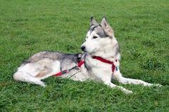 Husky body dog in grass. Husky dog stay in grass in park Royalty Free Stock Photos
