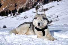 Husky break Royalty Free Stock Photo