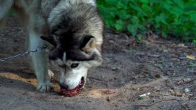 The Husky breed dog eats a large piece of fresh meat. The dog eat meat with pleasure swallowing large chunks. stock video footage