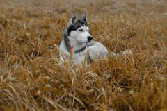 Husky breed dog lying in the grass on an autumn day.  royalty free stock image