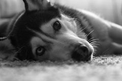 Husky breed dog is resting lying on the carpet.  Royalty Free Stock Image