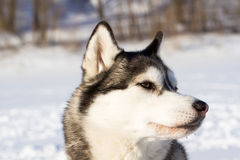 Husky breed of dog in the snow Stock Image
