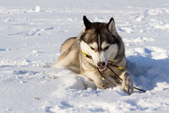 Husky breed of dog in the snow Stock Photos