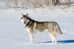 Husky breed of dog in the snow Royalty Free Stock Photography