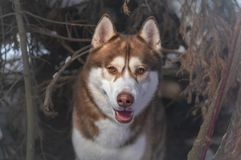 Husky breed dog winter portrait in lair. Siberian husky in winter forest. royalty free stock image
