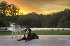 Husky and Burmese with the Sunset Stock Images