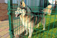 Husky in a cage Royalty Free Stock Photography