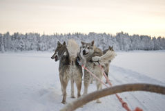 Husky - cani di slitta Immagini Stock Libere da Diritti