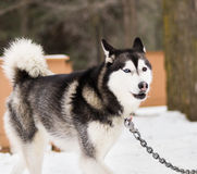 Husky in carriage camp on chain close-up Royalty Free Stock Images