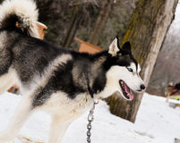 Husky from carriage camp Royalty Free Stock Photo