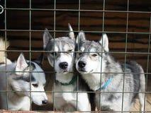 Husky che dà una occhiata fuori da dietro le sbarre di ferro del recinto che aderisce l'un l'altro immagine stock