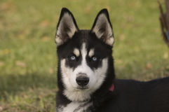 Husky che risiede nell'erba immagini stock libere da diritti