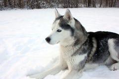 Husky che risiede nella neve Fotografia Stock Libera da Diritti
