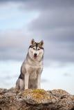 Husky che si siede su una roccia Immagine Stock Libera da Diritti