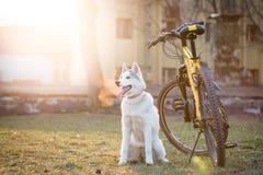 Husky che si siede vicino alla bici Fotografia Stock
