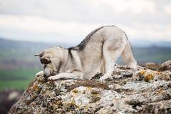Husky che si trova su una roccia Fotografia Stock