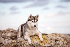 Husky che si trova su una roccia Immagine Stock Libera da Diritti