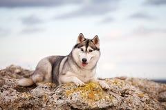 Husky che si trova su una roccia Fotografie Stock Libere da Diritti
