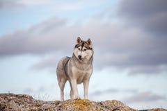 Husky che sta su una roccia Immagini Stock Libere da Diritti