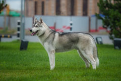 Husky in the city Royalty Free Stock Photo