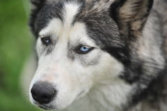 Husky, close-up portrait of a dog. Husky portrait on green background Stock Images