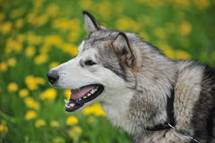 Husky, close-up portrait of a dog. Husky portrait on green background Stock Photography