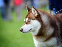 Husky Royalty Free Stock Photo