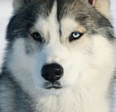 Husky closeup Royalty Free Stock Image
