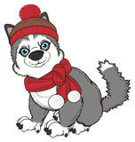 Husky in clothes sit Royalty Free Stock Photo