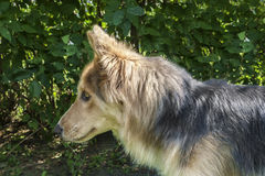 Husky & Colley dog Stock Images
