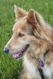 Husky Colley dog Royalty Free Stock Photos