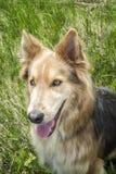 Husky & Colley dog Stock Image