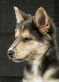 Husky & Colley puppy dog Stock Images
