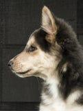 Husky & Colley puppy dog Stock Photos