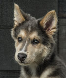 Husky & Colley puppy dog Stock Photography
