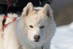 Husky con differenti occhi che esaminano tranquillamente il fotografo immagini stock libere da diritti