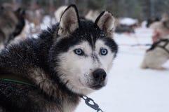 Ragazzo inuit con il cane del husky illustrazione - Husky con occhi diversi ...